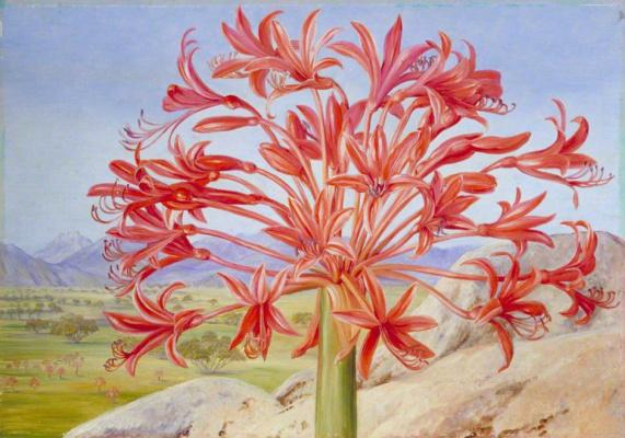 Марианна Норт. Цветущая брунсвигия, Куинстаун, Южная Африка
