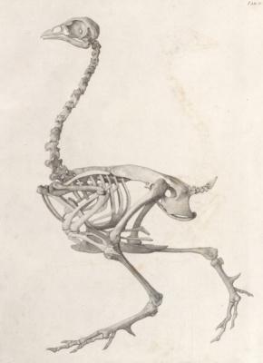 Джордж Стаббс. Скелет птицы: вид сбоку