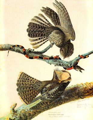 John James Audubon. Fight