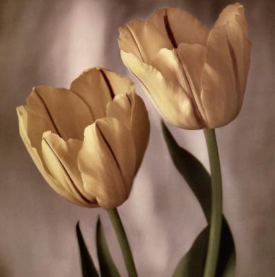 Тим Рихтер. Тюльпаны