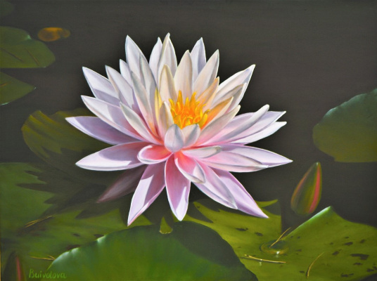 Irina Buivolova. Pink water lily