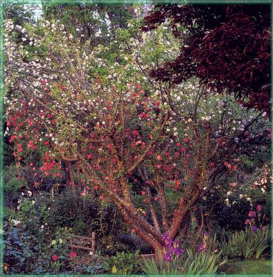 Сахон Холт. Цветущие деревья