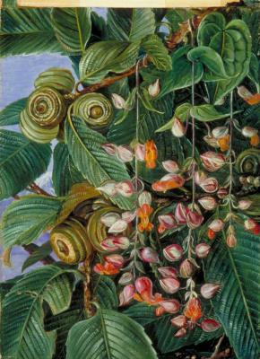 Марианна Норт. Дуб, покрытый вьющимися растениями, Дарджилинг