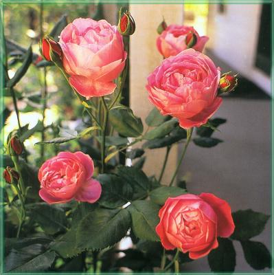 Сахон Холт. Розовые розы