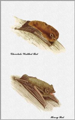 Марион Уэстмакотт. Австралийские млекопитающие 59