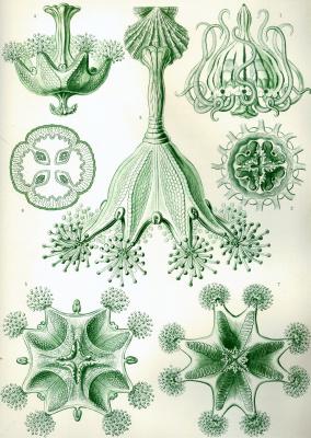 "Ernst Heinrich Haeckel. Stavromedusa. ""The beauty of form in nature"""