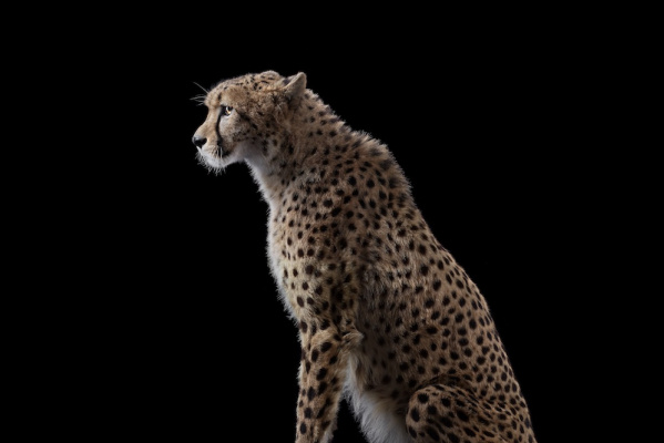 Brad Wilson. Cheetah#1