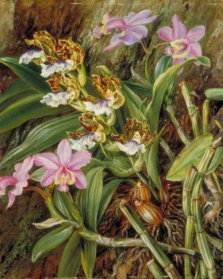 Марианна Норт. Бразильские орхидеи