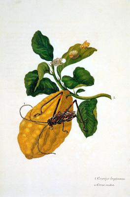Мария Сибилла Мериан. Цветок