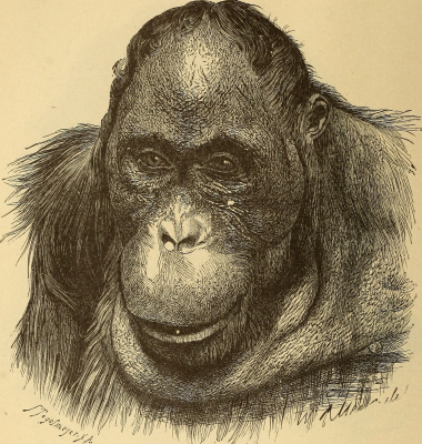 """Ernst Heinrich Haeckel. Old monkey male. """"Anthropology and the history of human development"""""""