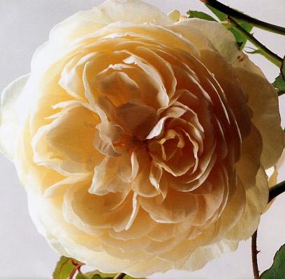 Клей Перри. Роза