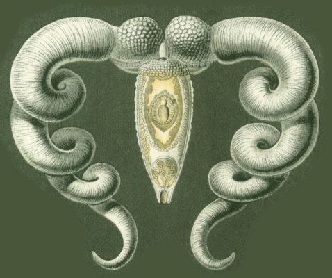 "Ernst Heinrich Haeckel. Flat worm Bucephalus. ""The beauty of form in nature"""