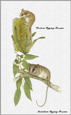Марион Уэстмакотт. Австралийские млекопитающие 29