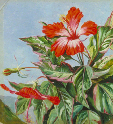 Marianna North. Plants of New Caledonia: Cooper Hibiscus
