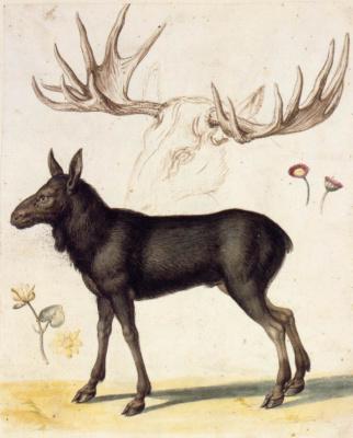 Giuseppe Arcimboldo. A young elk