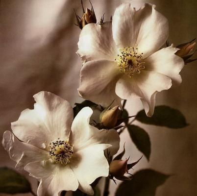 Тим Рихтер. Дикая роза