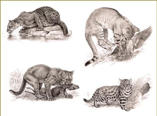 Роберт Даллет. Кошки в дикой природе