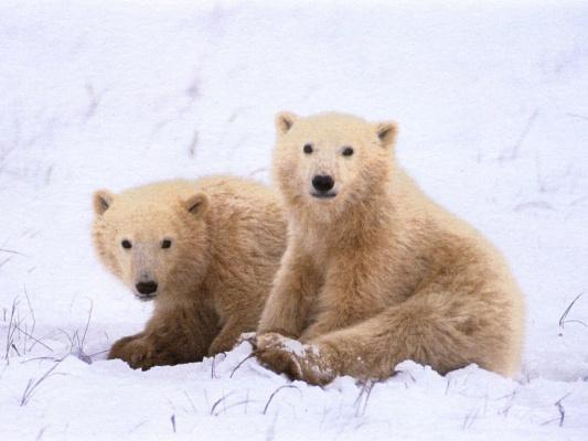 Карл Самс. Белые медведи