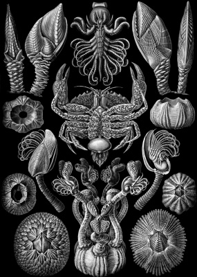 """Ernst Heinrich Haeckel. Barnacles (Cyrips). """"The beauty of form in nature"""""""