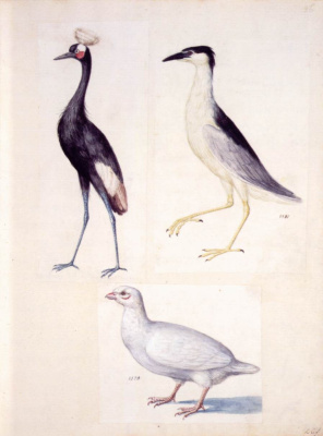 Giuseppe Arcimboldo. Crowned crane, night Heron and white partridge