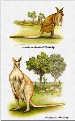Марион Уэстмакотт. Австралийские млекопитающие 39