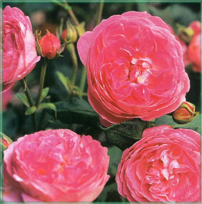 Сахон Холт. Красные розы