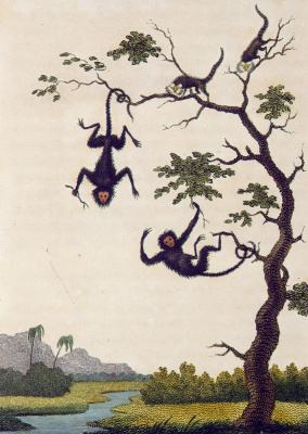 """William Blake. Monkey on the tree. """"The story of a five year expedition against the rebellious Negroes of Suriname"""""""