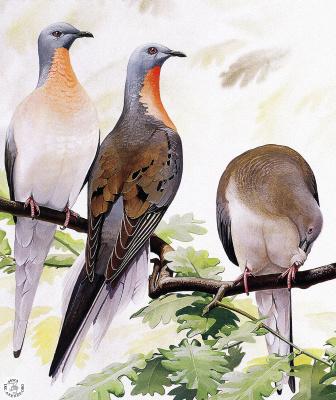 Питер Схоутена. Птицы