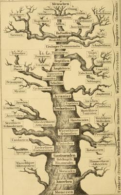 """Ernst Heinrich Haeckel. Genealogy. """"Anthropology and human development"""""""