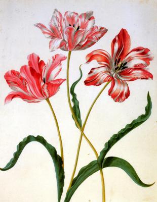 Maria Sibylla Merian. Three tulips