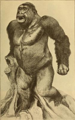 "Ernst Heinrich Haeckel. Gorilla male ""Anthropology and the history of human development"""