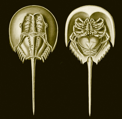 "Ernst Heinrich Haeckel. Horseshoe tails ""The beauty of form in nature"""