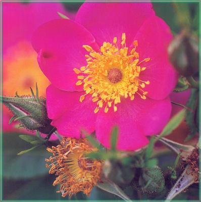 Сахон Холт. Яркий цветок