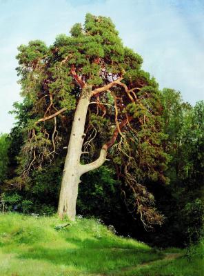 Ivan Ivanovich Shishkin. Pine. Maricul