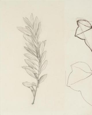 John Ruskin. Study olive branch