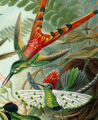 "Ernst Heinrich Haeckel. Hummingbird coquette. ""The beauty of form in nature"""