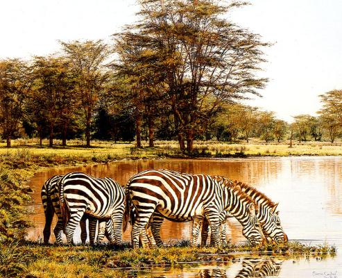 Саймон Комб. Зебры на водопое