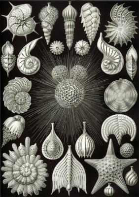 Эрнст Генрих Геккель. Раковины. «Красота форм в природе»