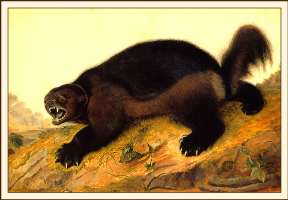 John James Audubon. Wolverine