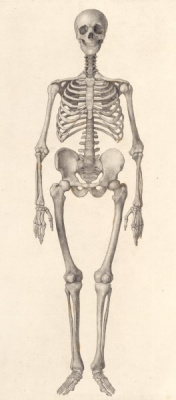 George Stubbs. Human skeleton