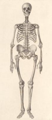 Джордж Стаббс. Скелет человека