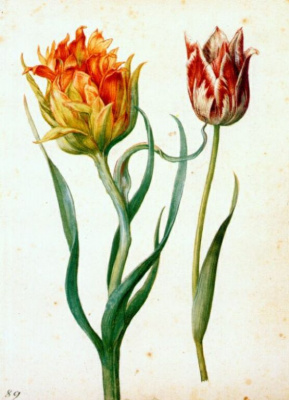 Georg Flegel. Two Tulip