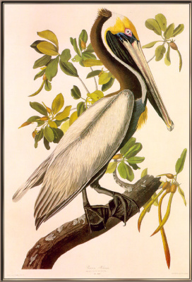 John James Audubon. Pelican on a branch