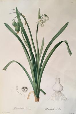 Pierre-Joseph Redoute. Summer flower plant