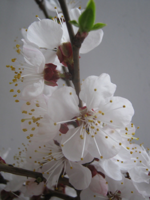 Alexey Grishankov (Alegri). Apricot blossom