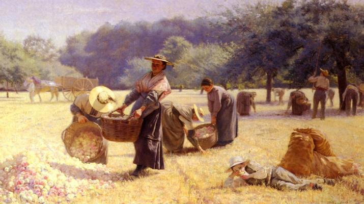 Йстрес Контенкин. Сбор урожая яблок