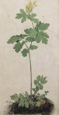 Albrecht Durer. Celandine