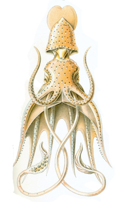 "Ernst Heinrich Haeckel. Umbrella squid. ""The beauty of form in nature"""