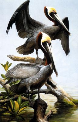 Роджер Тори Петерсон. Американский бурый пеликан