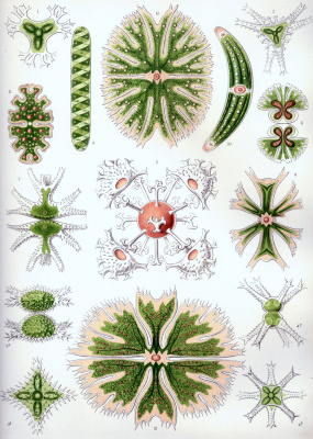 "Ernst Heinrich Haeckel. Green algae: desmidei. ""The beauty of form in nature"""